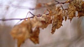 Viele trockenen Blätter, die am toten Zweig im Fall hängen stock video