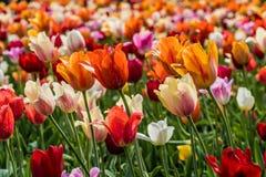 Viele Tulpen stockfoto