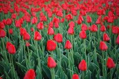 Viele Tulpen auf dem Gebiet Lizenzfreies Stockfoto