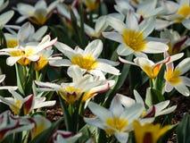 Viele Tulpen Dame Jane auf einem Gartenbett stockbild