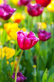 Viele Tulpen im Park lizenzfreie stockbilder