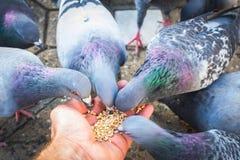 Viele Vögel, die Samen der Hände essen lizenzfreie stockbilder