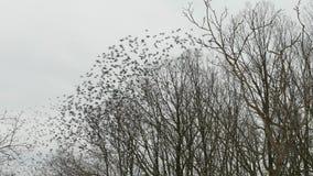 Viele Vögel, die in Winterwaldholz- und -baumschattenbild mit grauem Himmel fliegen stock video