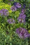 Viele Veilchenblumen mit grünen Blättern Stockfotografie