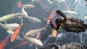 Viele verschiedene Fantasie koi Fische und zwei schwarze Schwäne im Teich stock video