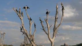 Viele Vogelkormorane, die auf den trockenen Niederlassungen von versenkte tote Bäume sitzen stock video