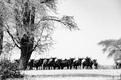Viele von Gnu - Gnus unter enormem Baum in Serengeti, Tansania, Schwarzweißfotografie lizenzfreie stockfotos