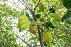 Viele von Jackfruit auf dem Baum Lizenzfreie Stockfotos