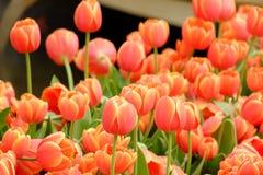 Viele von orange Tulpen Lizenzfreie Stockfotos