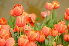 Viele von orange Tulpen Stockfotografie