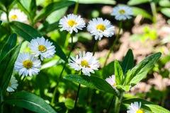 Viele weißen Gänseblümchen in der Sonne stockfotografie