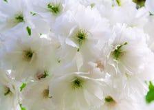 Viele weißen Kirschblüte-Blumen zum Oberlicht Lizenzfreie Stockfotografie