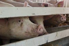 Viele weißen Schweine in der Scheune Lizenzfreie Stockfotos