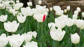 Viele weißen Tulpen und von ihnen mit dem einzelnen roten Blumenblatt Stockfotografie