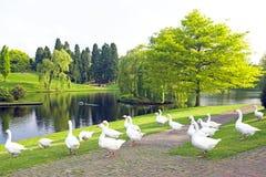 Viele wilden Gänse an einem See Stockbild