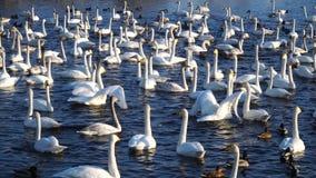 Viele wilden Schwäne und Enten auf dem See Winterzeit, sonniges Wetter, Frischwasser-4k stock footage