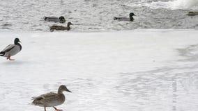 Viele Wildenten gehen auf Eis und Sprung in Wasser stock video footage