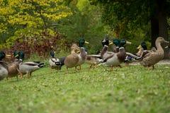 Viele Wildenten heraus im Park Lizenzfreies Stockfoto