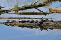 Viele Zierschildkröten, die auf einem Klotz sich sonnen Stockbild