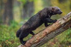 Vielfrass, der auf dem Baum klettert Wilde Natur stockfotografie