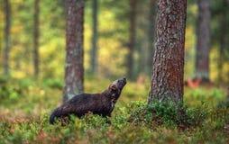 Vielfrass in der wilden Natur Natürlicher Lebensraum stockfotografie