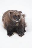 Vielfrass im Schnee lizenzfreie stockfotos