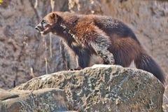 Vielfrass ist ein wildes wildes Nordtier auf einem Felsen lizenzfreie stockfotografie