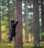 Vielfrass klettert einen Baum Natürlicher Lebensraum lizenzfreie stockbilder