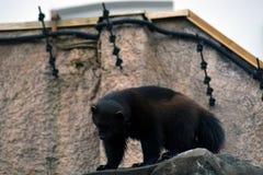 Vielfrasstier in Moskau-Zoo lizenzfreie stockbilder