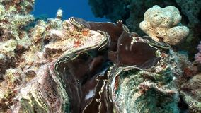 Vielschichtige Tridacna Scuamose-Riesenmuscheln mit schwerem Umhang im Roten Meer stock video