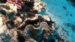 Vielschichtige Tridacna Scuamose-Riesenmuscheln mit schwerem Umhang im Roten Meer stock footage