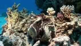 Vielschichtige Tridacna Scuamose-Riesenmuscheln mit schwerem Umhang im Roten Meer stock video footage