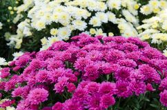 Vielzahl der Chrysantheme im Freien Einfach zu bearbeiten und zu ändern Blumen im Park Lizenzfreies Stockfoto