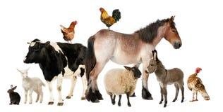 Vielzahl der Vieh Stockfotografie