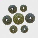 Vielzahl von grünen Seeigeln Stockfotos