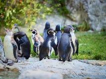 VIENNA, AUSTRIA - 8 SETTEMBRE 2017 Moltitudine di pinguini allo zoo di Schonbrunn, Vienna, Austria immagini stock