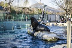 Vienna, Austria, 28.02.2019. Feeding of black seals in the pool of a zoo. Around many people were going to look at it. Diving. royalty free stock photo