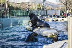 Vienna, Austria, 28.02.2019. Feeding of black seals in the pool of a zoo. Around many people were going to look at it. Diving. royalty free stock photos