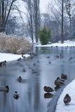 Vienna - ducks from Stadtpark in winter Stock Image