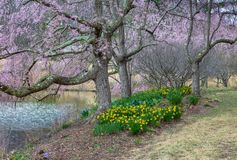 Vienna VA Spring Garden Daffodils and Cherry Blossoms royalty free stock photography