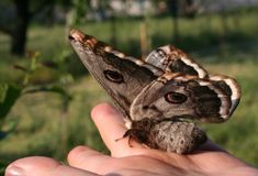 Viennese emperor moth on palm royalty free stock images