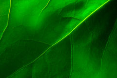 Viens of green leaf Stock Photo