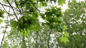 Viento del verde de la rama de Sun metrajes