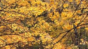 Viento en el bosque del arce del otoño, hojas de arce amarillas que caen metrajes