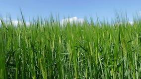 Viento fresco de la cosecha con el cielo azul - 4K almacen de metraje de vídeo