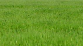 Viento fresco de la cosecha - 4K almacen de metraje de vídeo