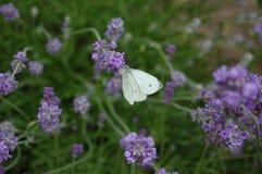 Viento púrpura y vuelo blanco 2 Fotos de archivo libres de regalías