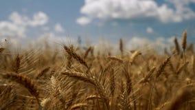 Viento que sopla en la plantación del grano metrajes