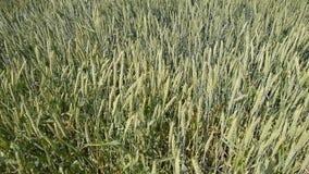 Vientos de los puntos del trigo Espiguillas del trigo verde Trigo de maduración en el campo Vientos de los puntos del trigo metrajes