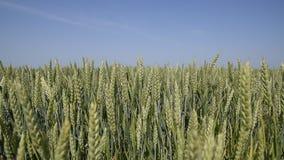 Vientos de los puntos del trigo Espiguillas del trigo verde Trigo de maduración en el campo Vientos de los puntos del trigo almacen de video